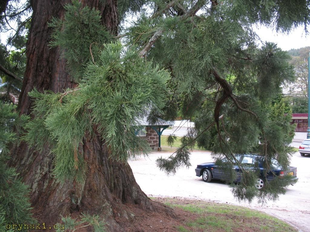 Olbrzymie drzewa w Strathpeffer