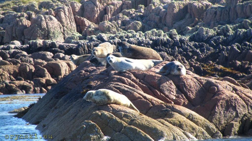 Foki w okolicach Fionnphort